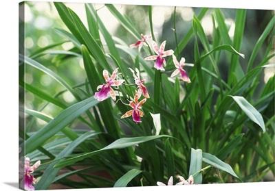 Orchis Miltonia