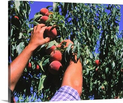 Peach-harvesting