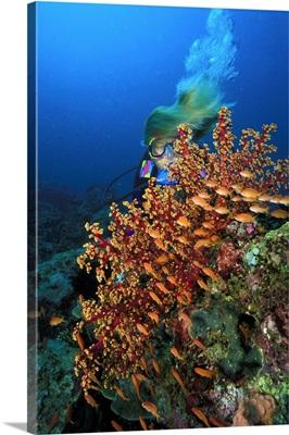 Philippines, Dakak, School of Tropical Anthias near a soft coral