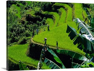 Philippines, Luzon, Banat, Rice terraces