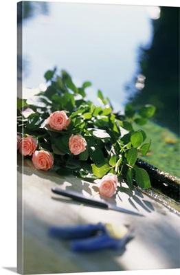 Pink roses, Vacqueras, Domaine de la Ponche, roses of the garden