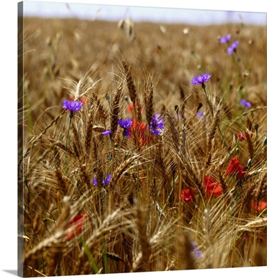 Poppies and cornflowers in wheat field