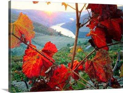 Portugal, Douro Valley, vineyard