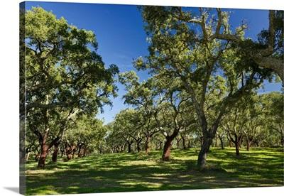 Portugal, Evora, Alentejo, Alentejo, cork oak trees