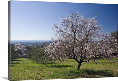 Portugal, Faro, Algarve, Loule, Almond orchard with trees in flower in Spring