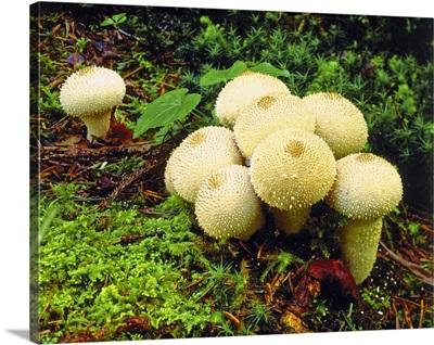 Puffball mushroom (Lycoperdon pyriforme)