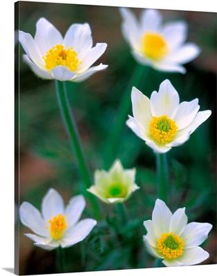 Pulsatilla alpina, wild flowers