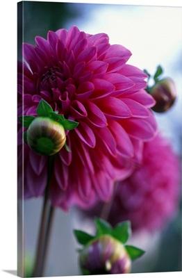 Purple flower, Sauris village, peony flowers