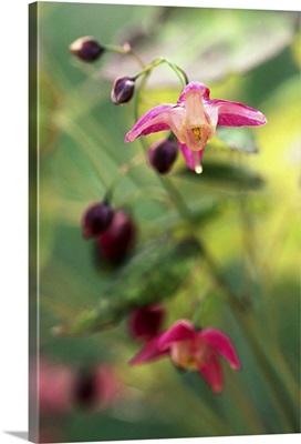Red Barrenwort (Epimedium rubrum)
