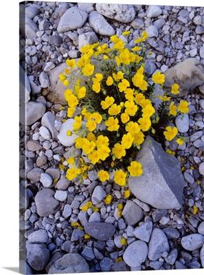 Rock rose (Helianthemum oleandicum)