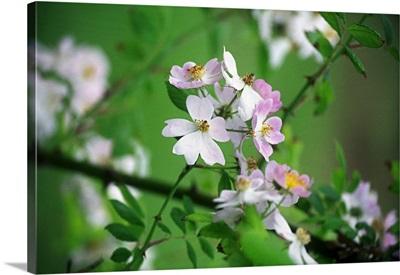 Rose (Multiflora Cathayensis)
