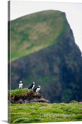 Scotland, Shetland Islands, Fair Isle, Wild Atlantic Puffin