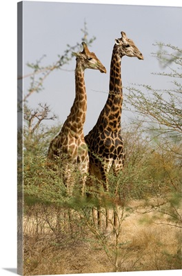 Senegal, Thies, Bandia Nature Reserve, two giraffes in the park