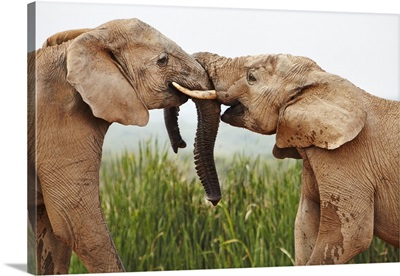 South Africa, Addo Elephant National Park, Young Bull Elephants Greet Each Other