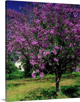 South Africa, Cape Peninsula, Jacaranda tree