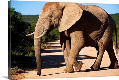 South Africa, Eastern Cape, Addo Elephant National Park, elephant