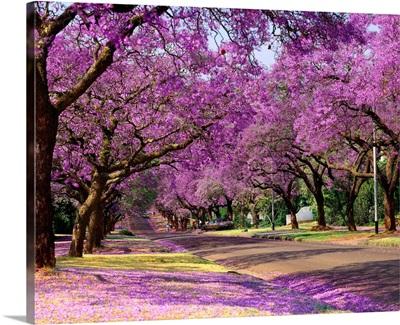 South Africa, Gauteng, Pretoria, Jacaranda trees