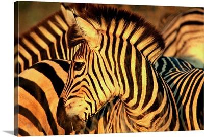 South Africa, Kruger National Park, Burchell's Zebra