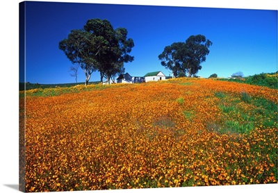 South Africa, Namaqualand, Skilpad Wildflower Reserve