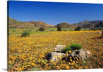 South Africa, Namaqualand, Spring bloom near Kamieskroon village