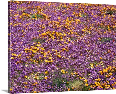 South Africa, Namaqualand, Wildflowers in the desert
