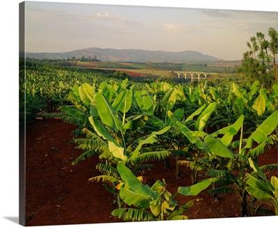 South Africa, Northern Transvaal, Banana Plantation near Tzaneen town