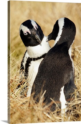 South Africa, Western Cape, Cape Town, African Penguins At Boulders Beach, Simons Town