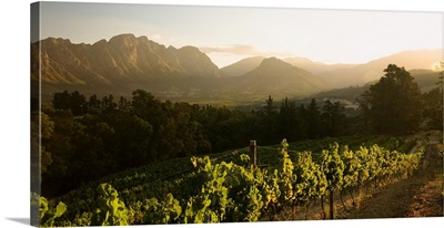 South Africa, Western Cape, Franschhoek, Winelands, Vineyards