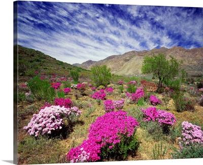 South Africa, Western Cape, Little Karoo plateau, wild flowers near Montagu town