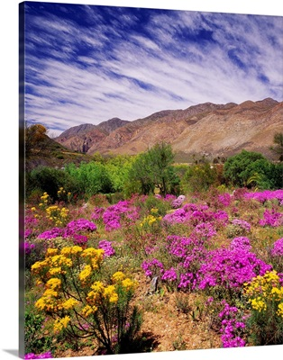 South Africa, Western Cape, Little Karoo plateau, wild flowers near the town of Montagu