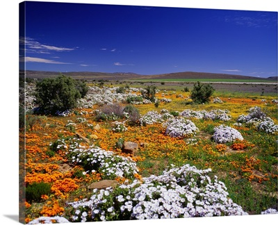 South Africa, Western Cape, Little Karoo plateau, wild flowers nearby Burger Pass