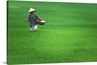 Southeast Asia, Vietnam, Rice paddy near Hoi An town