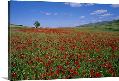 Spain, Andalusia, Olvera, poppies field