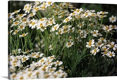 Spain, Canary Islands, Canario botanical garden, Tanacetum ferulaceum