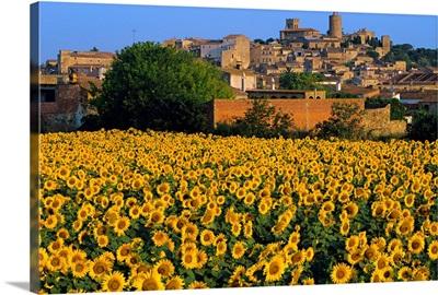 Spain, Catalonia, Costa Brava, Pals, and sunflower field