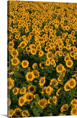 Spain, Catalonia, Costa Brava, Sunflower field near Pals village
