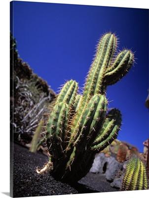 Spain, Lanzarote, cactus