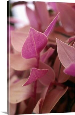 Spiderwort (Tradescantia fluminensis rosea)