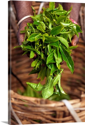 Sri Lanka, Central Province, Nuwara Eliya, Handful of tea leaves