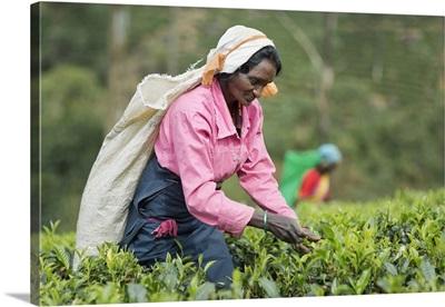 Sri Lanka, Central Province, Nuwara Eliya, Mackwoods Labookellie Tea Estate