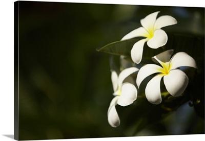 Sri Lanka, Frangipani flowers
