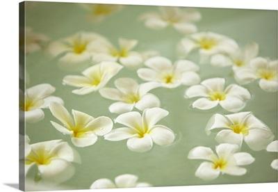 Sri Lanka, Frangipani flowers floating on pond