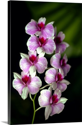 Sri Lanka, Orchid