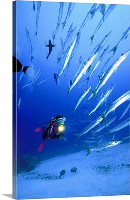 Sudan, Red Sea, Sanganeb Reef, school of Barracuda