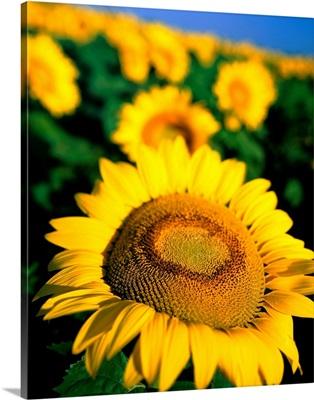 Sunflower field, close up of flower