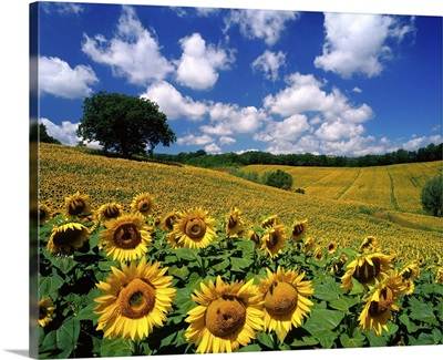 Sunflowers, Italy