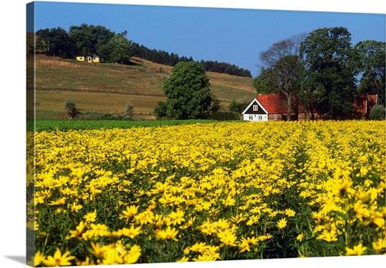 Sweden skane ystad swedish landscape with yellow flowers ystad sweden skane ystad swedish landscape with yellow flowers ystad countryside mightylinksfo