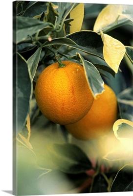 Sweet orange (Citrus sinensis foliis variegatis)