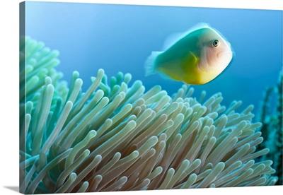Thailand, Phang Nga, Andaman sea, Indian ocean, Anemone fish