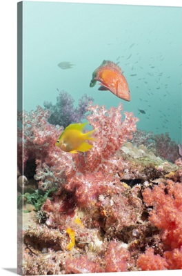 Thailand, Phang Nga, Andaman sea, Indian ocean, Golden Sergeant fish and Coral